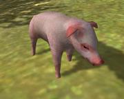 Gorgon pig