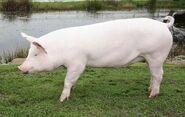 White Pig1