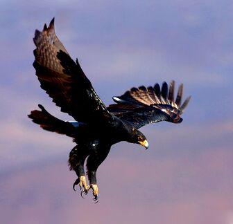 Black eagle2