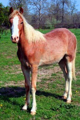 Roan-horse