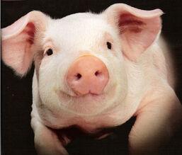 White Pig2