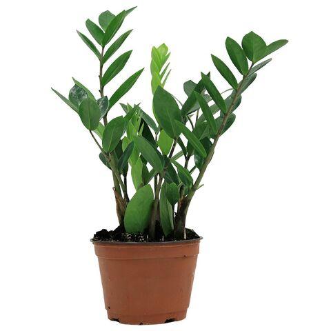 File:Delray-plants-house-plants-6zz-64 1000.jpg