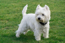 West-highland-white-terrier-