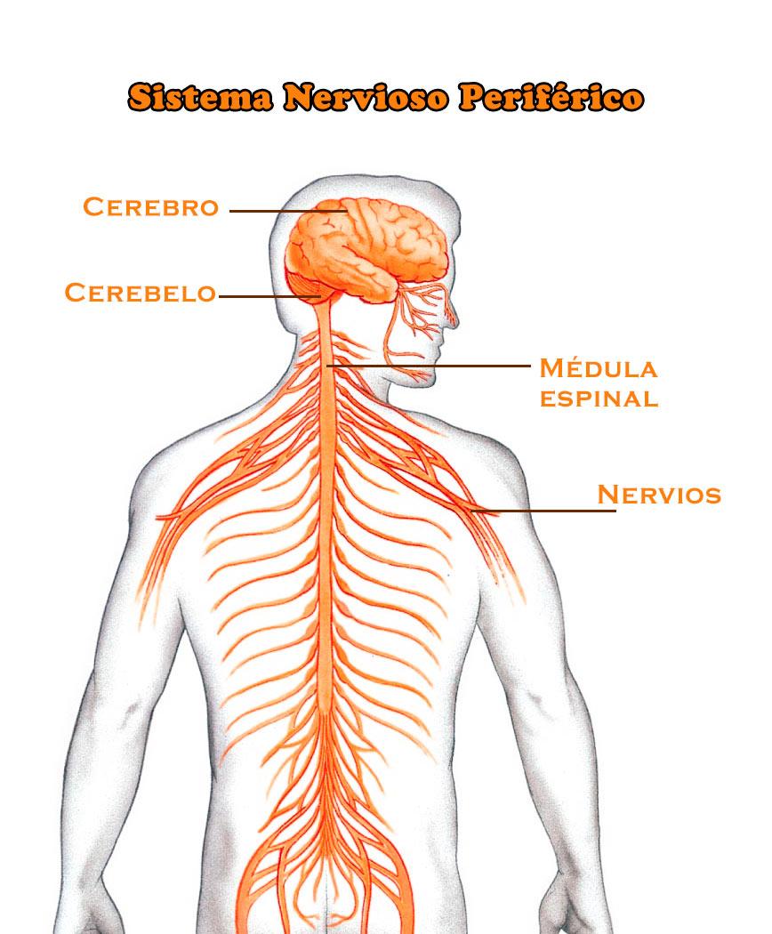 Sistema nervioso periferico | Wikia Psicología 145 | FANDOM powered ...