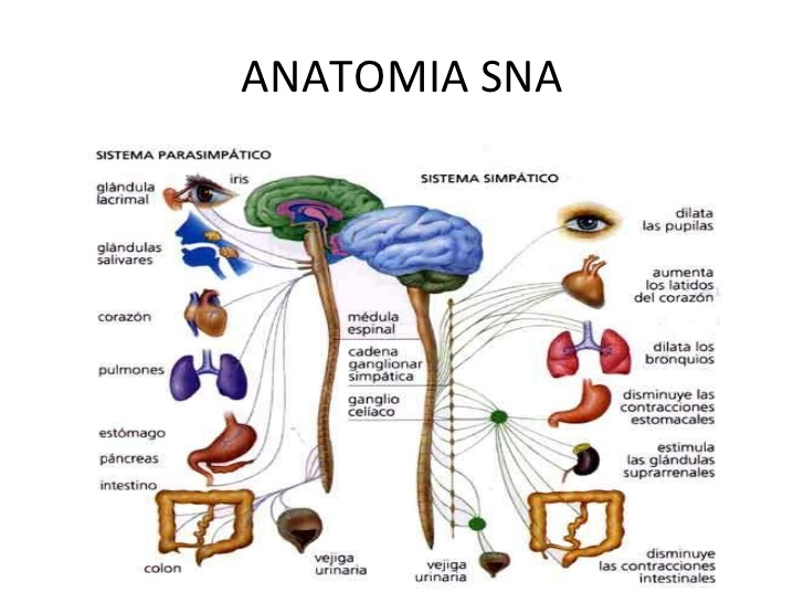 Bases neurofisiológicas de la emoción. | Wikia Psicología 145 ...