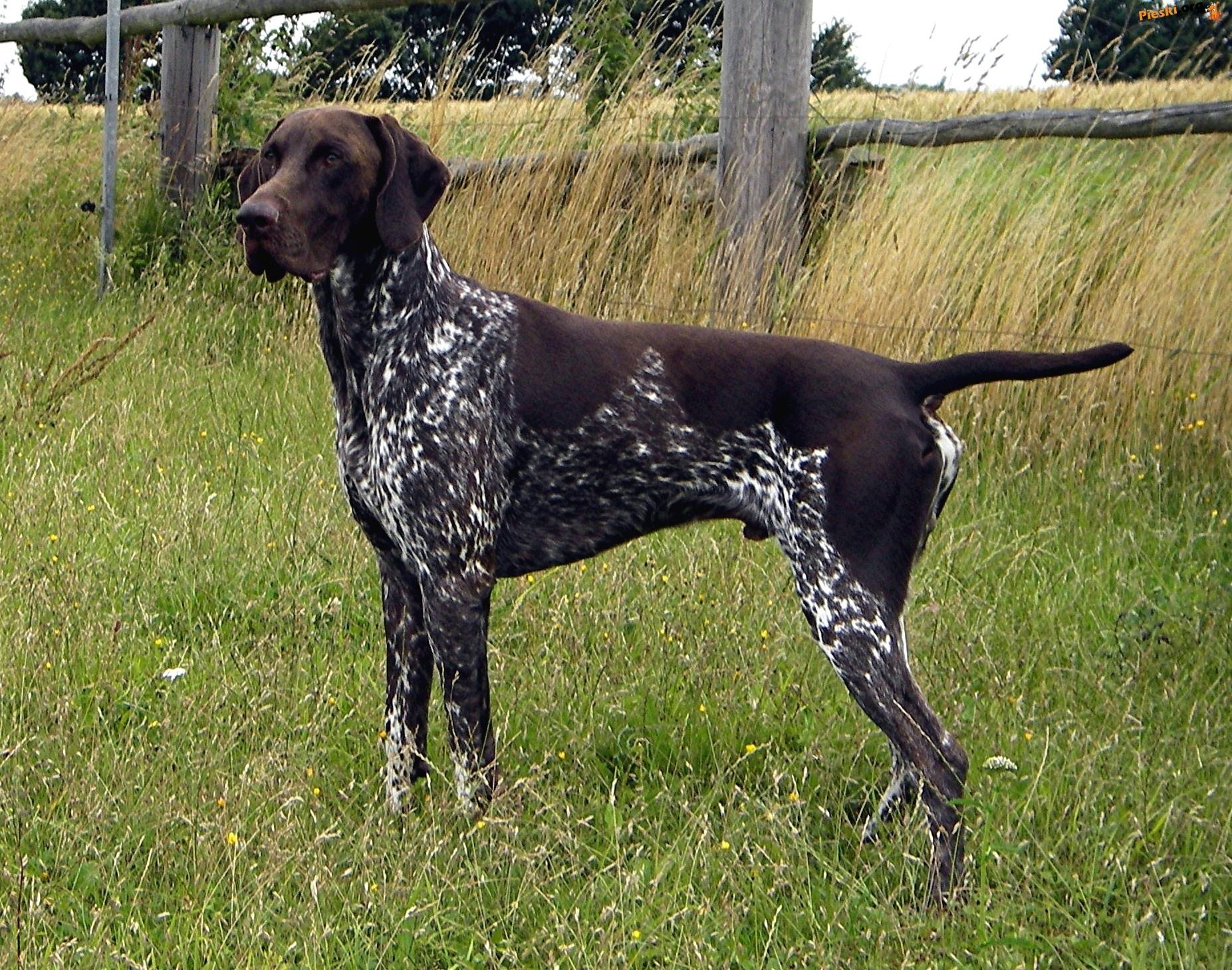 Ogromny Wyżeł Niemiecki Krótkowłosy | Psy i szczeniaki Wiki | FANDOM YQ21