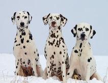 3 dalmatynczyki
