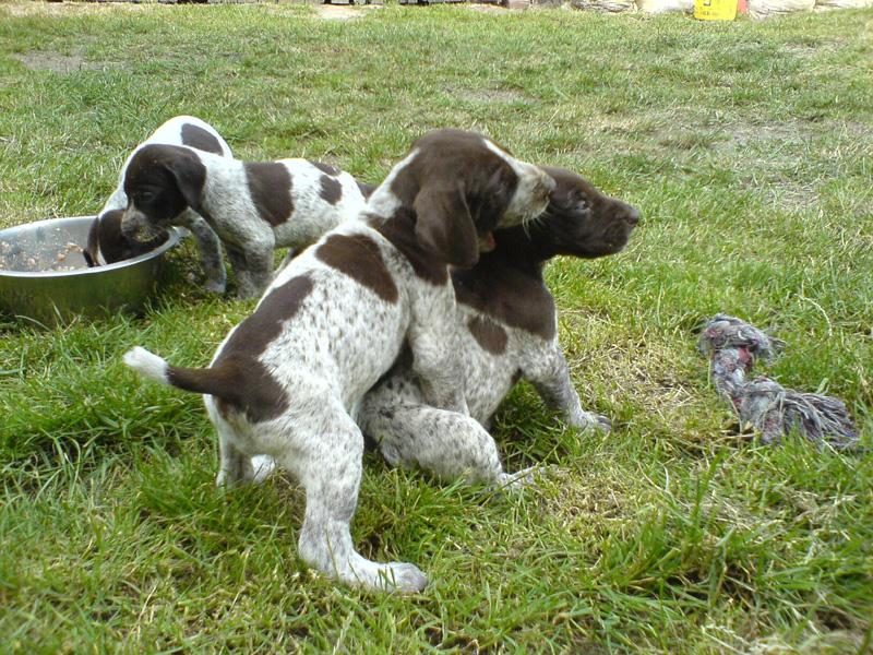 Nietypowy Okaz Wyżeł Niemiecki Krótkowłosy/Galeria | Psy i szczeniaki Wiki AX05