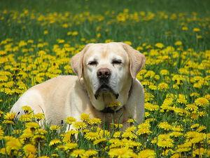 Labrador Retriver - Jespah in a dandelion sea
