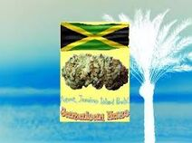 LegalHerbalShop-Jamaican-Haze-Legal Bud