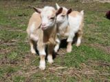 ADORABLE BABY GOATS!