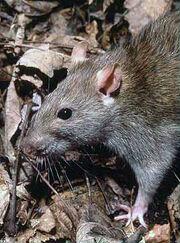 Common brown rat