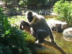 Whitecheeked gibbon