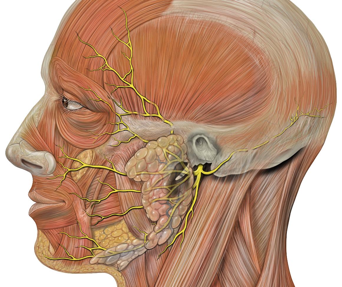Image - Head facial nerve branches.jpg   Psychology Wiki   FANDOM ...