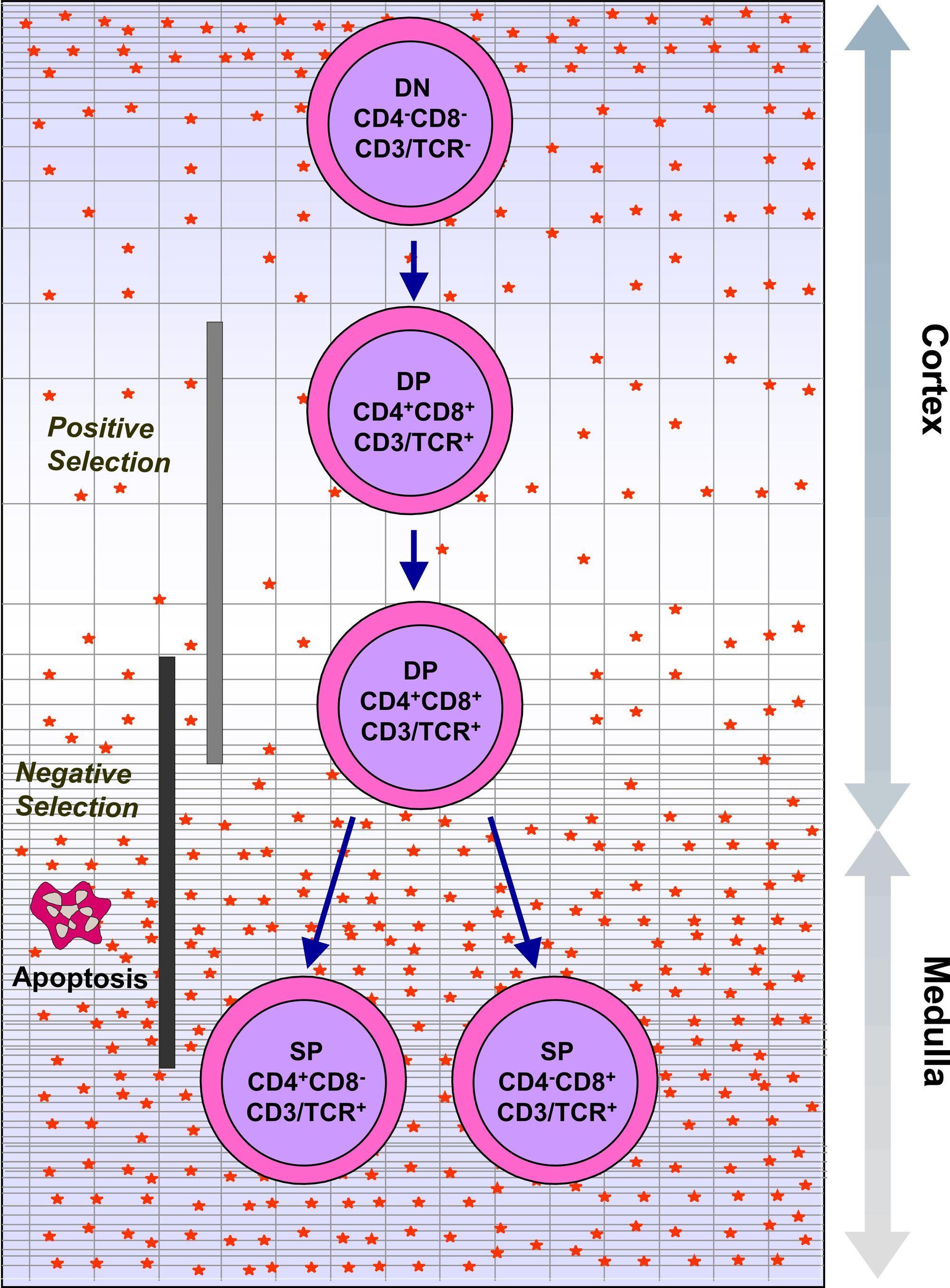 Thymus Gland Psychology Wiki Fandom Powered By Wikia