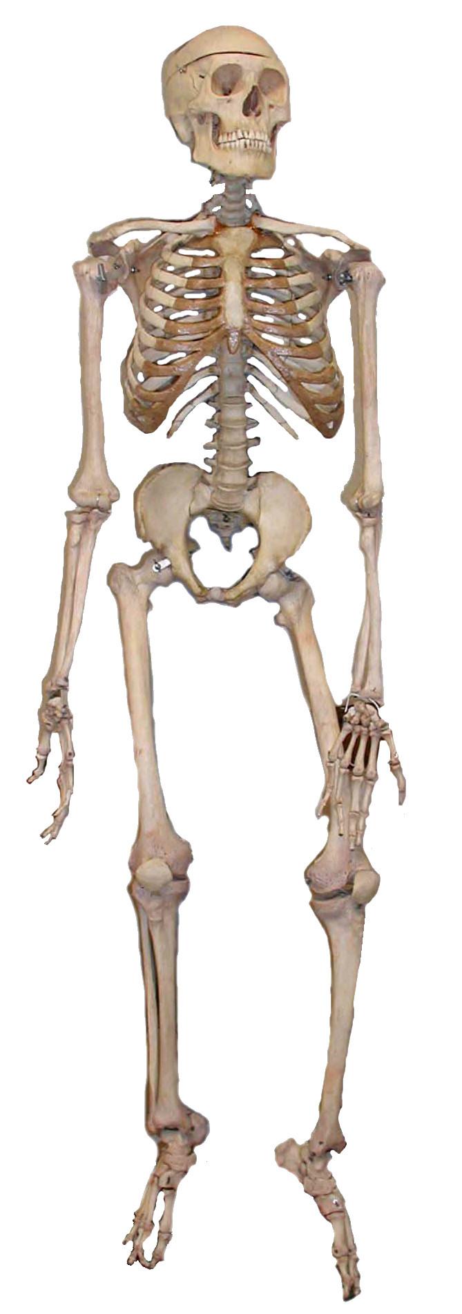 Human anatomy   Psychology Wiki   FANDOM powered by Wikia