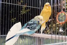 Budgie.two.750pix