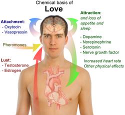 Chemical basis of love