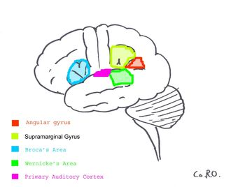 Angular gyrus | Psychology Wiki | FANDOM powered by Wikia