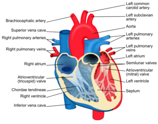 Structure of the heart valves
