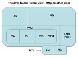 ThalamicNuclei