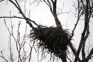 Bald eagle nesting