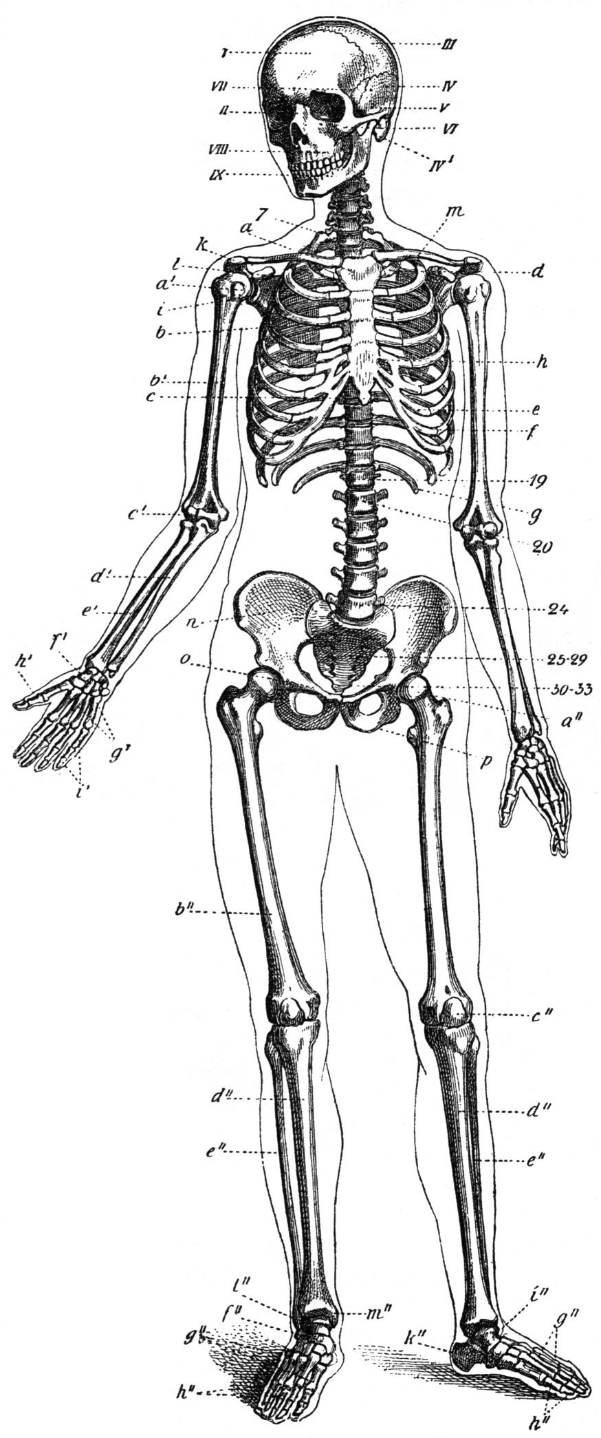 Skeletal System Psychology Wiki Fandom Powered By Wikia
