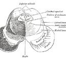 Medial longitudinal fasciculus