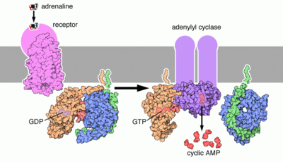 G protein signal transduction (epinephrin pathway)