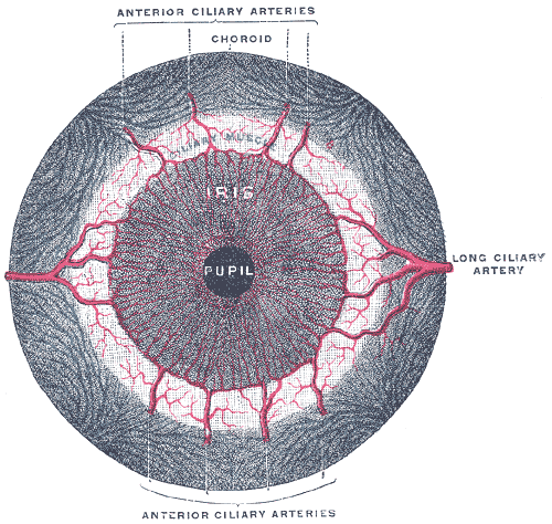 Iris sphincter muscle | Psychology Wiki | FANDOM powered by Wikia