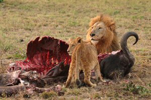 Male Lion and Cub Chitwa South Africa Luca Galuzzi 2004
