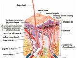 Epidermis (skin)