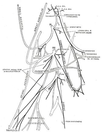 Phrenic nerve | Psychology Wiki | FANDOM powered by Wikia