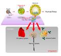 Stem cells diagram.png