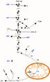 Gluconeogenese Diagramm.png