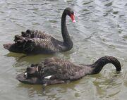 Black.swans.slimb.750pix