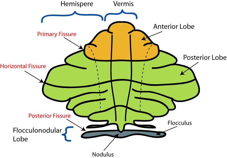 Cerebellar vermis | Psychology Wiki | FANDOM powered by Wikia