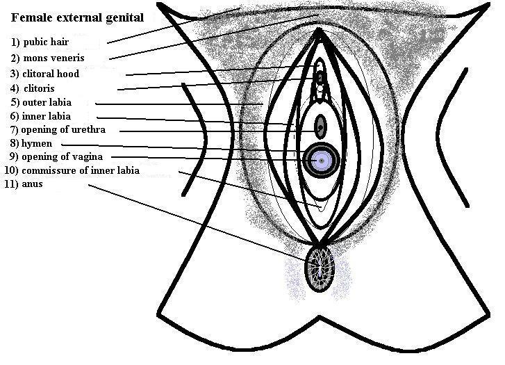 Image Vulva Anatomyg Psychology Wiki Fandom Powered By Wikia