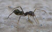 Ant Mimic Spider