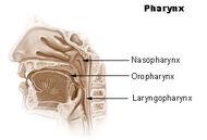Illu pharynx