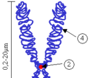 Chromatid