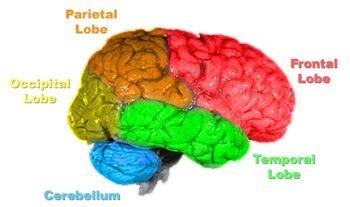 Brain-anatomy