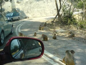 Monkeys in kam shan