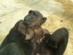 Baby chimpanze