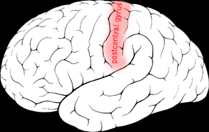 Postcentral gyrus
