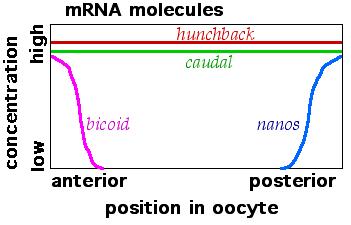 Maternal effect mRNAs