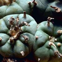 List of psychoactive plants | Psychology Wiki | FANDOM