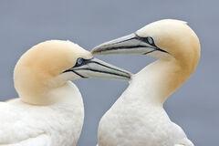 Two Gannets edit 2