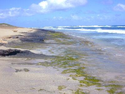 Intertidal greenalgae