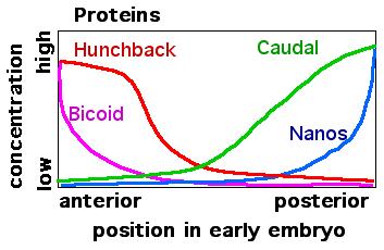 Drosophila early embryo protein gradients
